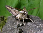 Bedstraw Hawk-moth (Hyles gallii)